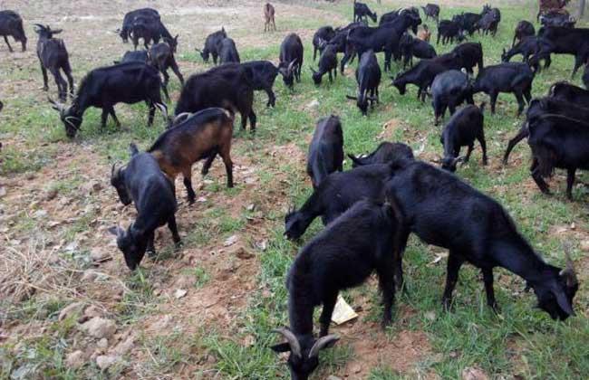 黑山羊的圈养技术