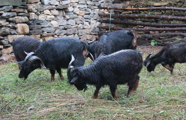 黑山羊圈养技术