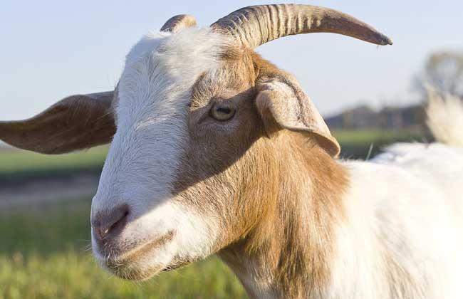 羊饲料配方