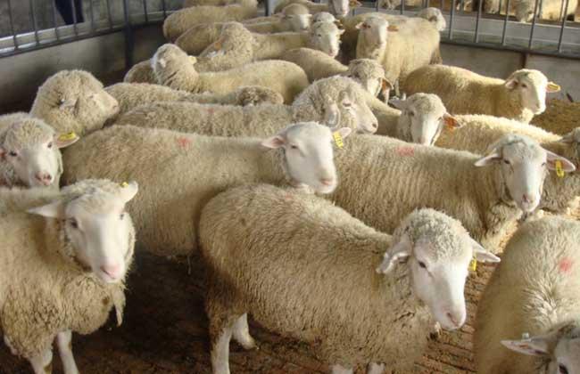 标准化养羊场建设原则