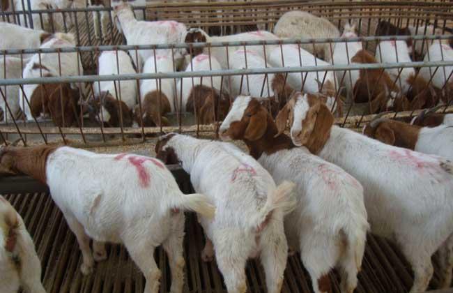 波尔山羊养殖场建设方案