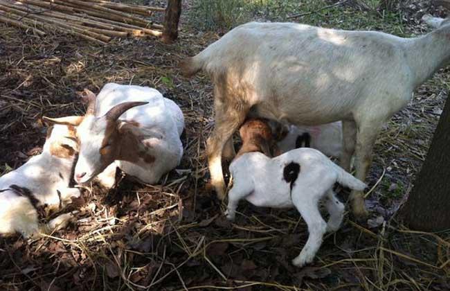 羊发情障碍