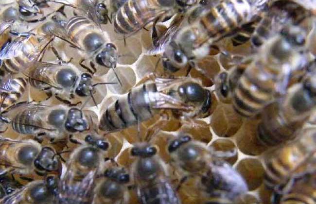 蜂王多少钱一只