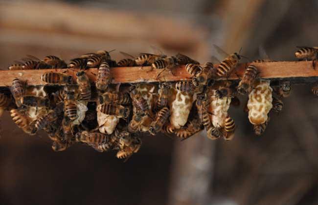 中蜂有多少个品种(我国中蜂有哪些品种)