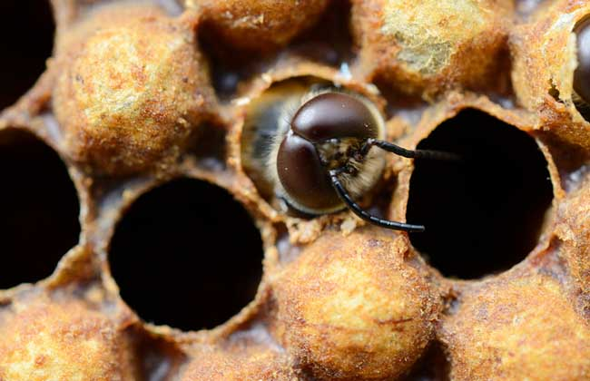 中蜂雄蜂饲养方法