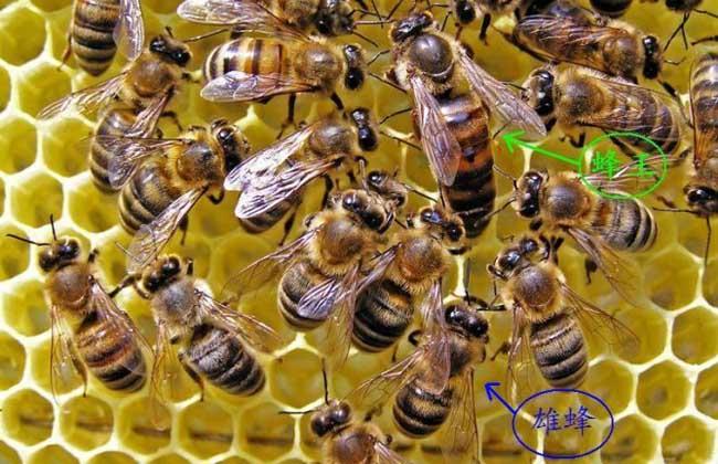 蜜蜂春繁技术