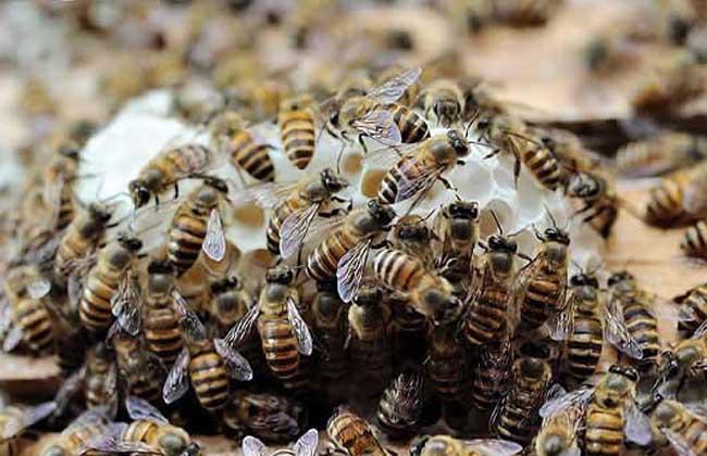 蜜蜂秋繁技术