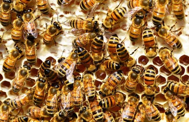 蜜蜂麻痹病