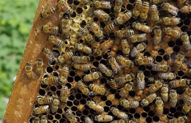 蜜蜂螺原体病