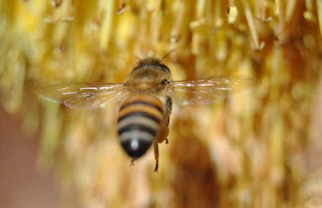 蜜蜂黑蜂病