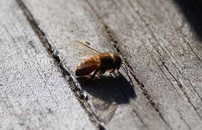 蜜蜂白垩病