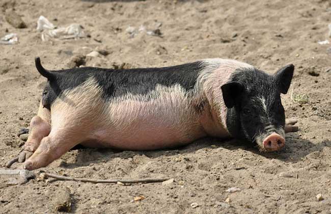 小香猪多少钱一只?