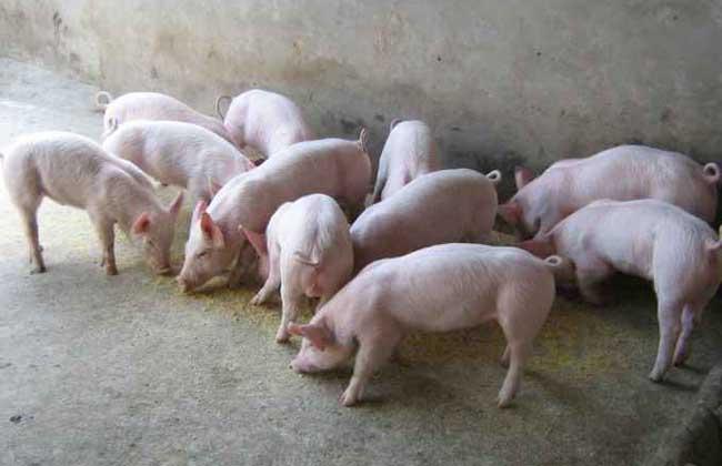 2016年养猪前景怎么养?