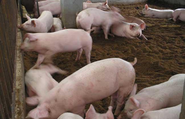 发酵床养猪技术