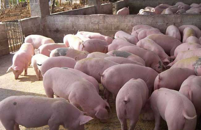 现代化生态养猪大棚建设