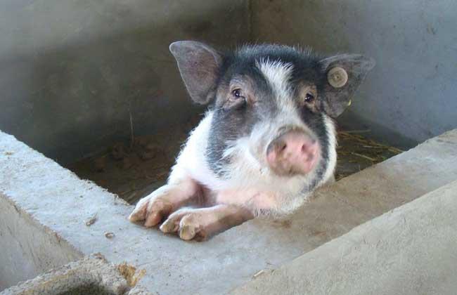 香猪养殖技术