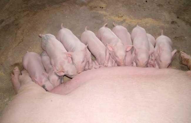 怀孕母猪饲养技术视频