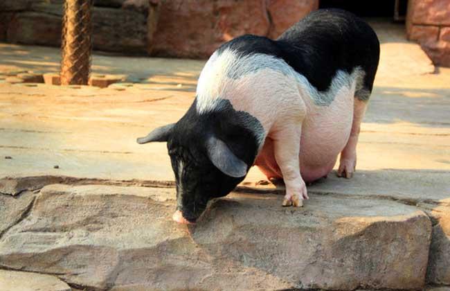 母猪养殖管理视频