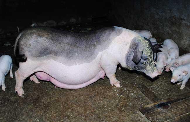 母猪养殖管理