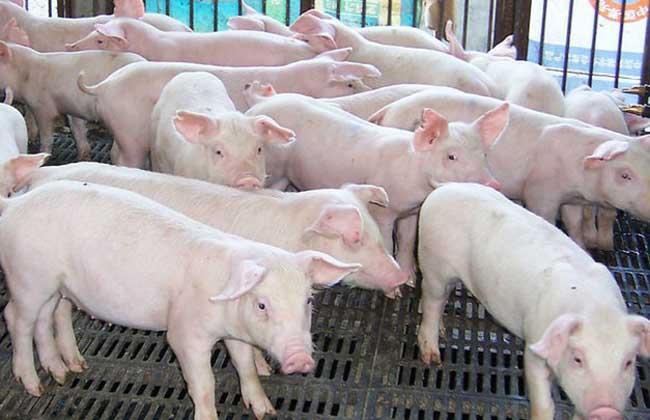 猪传染性胃肠炎防治方法