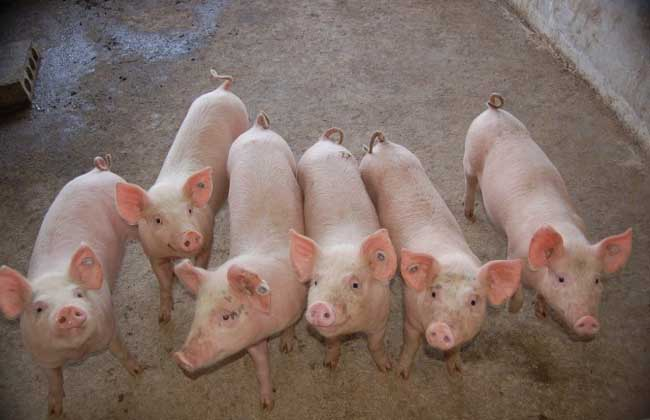 猪大肠杆菌病