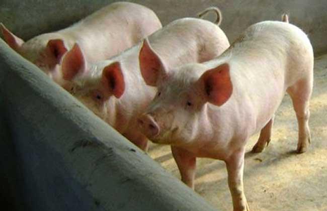 猪流行性感冒