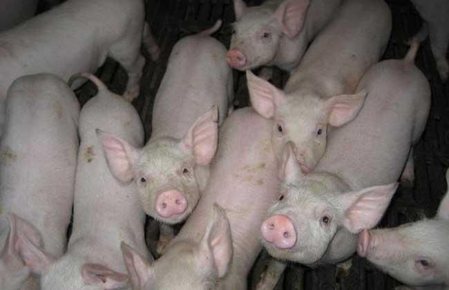 猪轮状病毒病防治方法