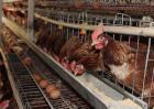 蛋鸡养殖技术视频