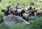 黑山羊的市场价格