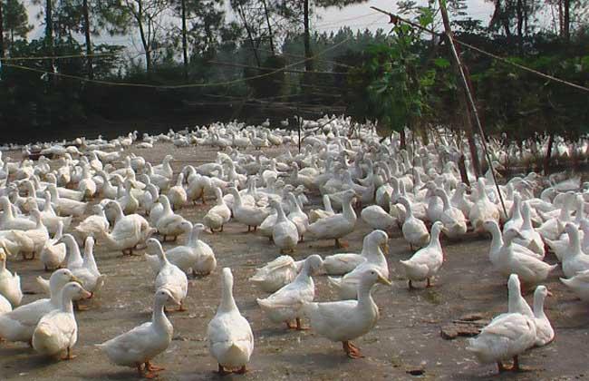 蛋鸭养殖技术视频