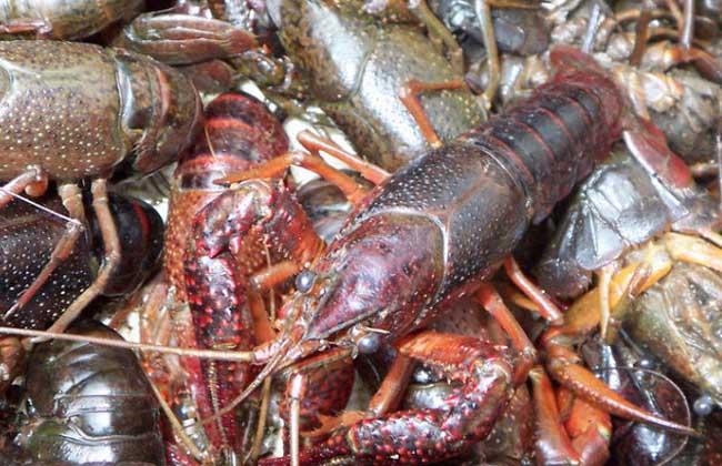 小龙虾产地在哪里