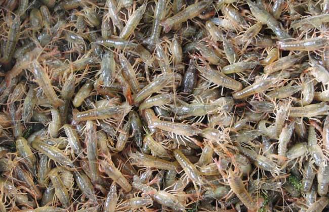 龙虾苗培育技术