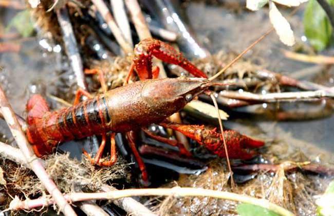 小龙虾饲料配方