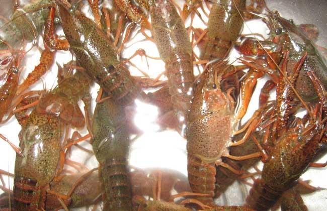 小龙虾饲料种类