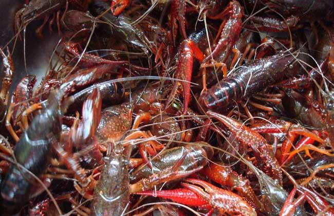 小龙虾养殖技术视频