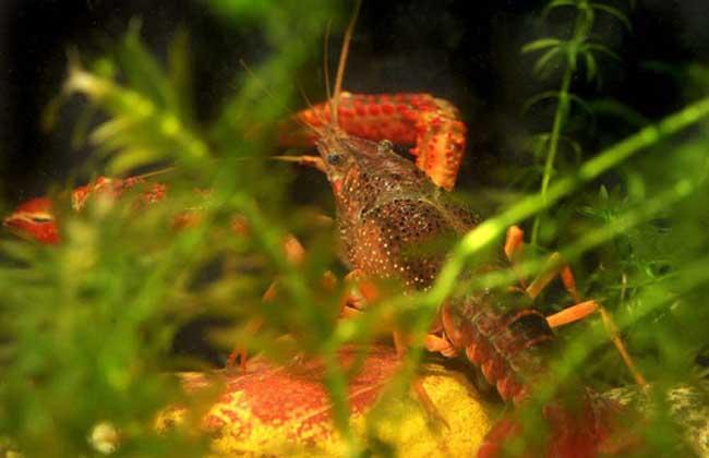 龙虾池水草种植技术