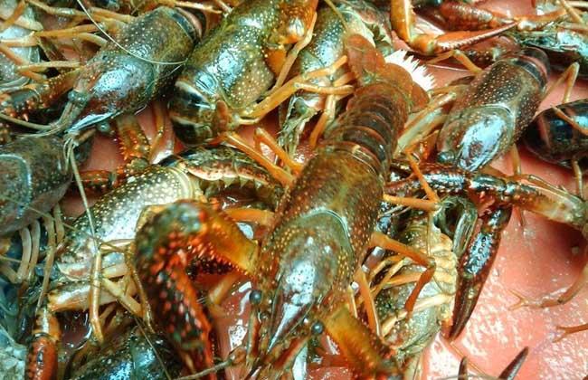 龙虾黑鳃病防治方法
