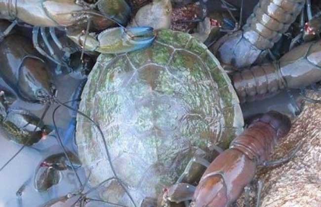 龙虾黑鳃病