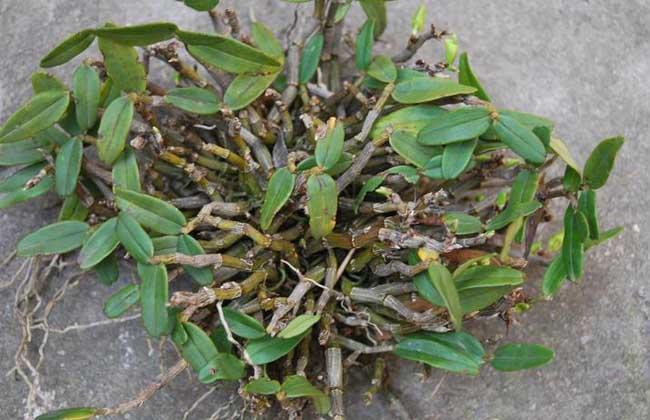 夹江石斛种植