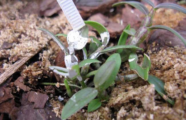 鐵皮石斛種植條件