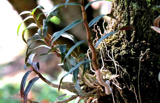 夹江铁皮石斛叶子发黄
