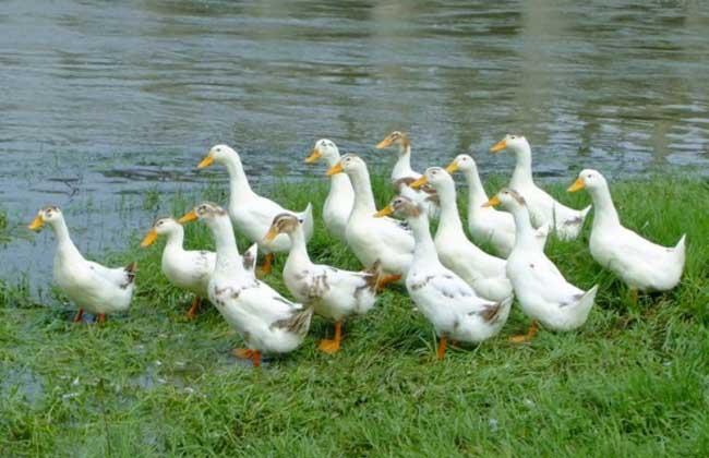 养鸭的成本与利润