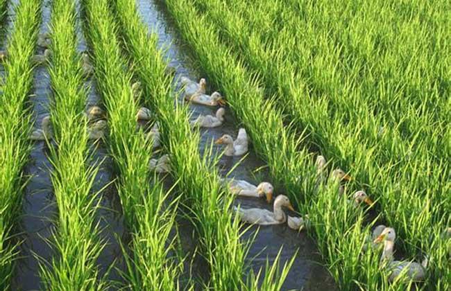 稻田养鸭技术