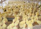 发酵床养鹅技术视频