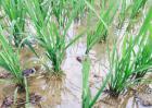 小龙虾稻田养殖技术视频
