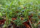 铁皮石斛能生吃吗?