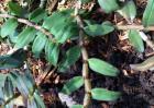 铁皮石斛繁殖技术