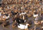 2017年蛋鸭养殖成本和利润