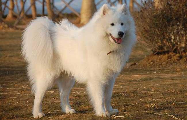爱斯基摩犬怎么训练