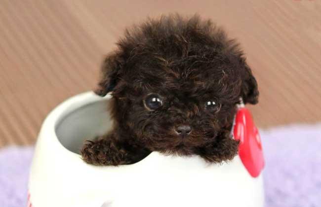 茶杯犬幼犬怎么养?